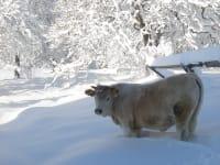 Kalb beim Wintersport