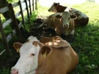 Kühe auf der Weide vorm Gästehaus