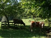 Kühe in der Weide