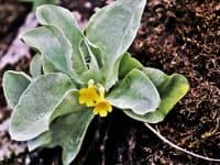 ..der seltene Petergstamm - Frühlingsblüher