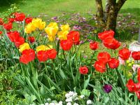 Tulpen vor dem Bauernhaus