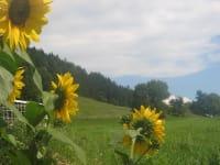 sonnenblumen kleintierbauerhof