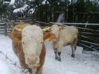 Kühe im Winter in der freien Natur