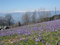 Crocus blooms on the Kamperkogel