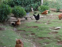 Hühner + Enten