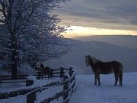 Haflinger im Winter