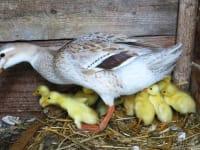 Unsere junge Entenfamilie