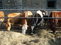 Neben vier verschiedenen Rinderrassen leben auch Schweine, Hühner und Katzen auf unserem Hof.