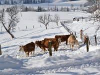 Kühe genießen die Wintersonne