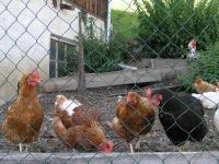 der Hahn mit seinen Hennen
