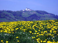 Löwenzahnfeld im Mai / Blick zum Sonntagberg