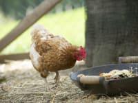 Henne im Hühnerstall