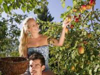 lustiges Apfelpflücken