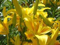 gelbe Blumenpracht-