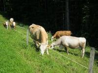 Die Kühe gehen jeden Tag auf die Weide