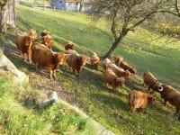 Hochlandrinder auf der Weide