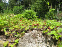 Walderdbeeren im eignen Garten