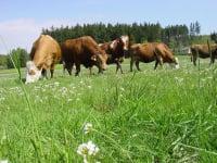 Zuchtstier mit seinen Kühen