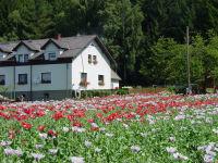 Blühendes Mohnfeld