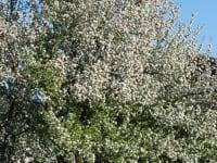 Apfelbaum im Frühling