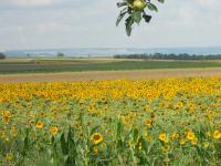 Haus Lebensreich - leuchtend gelbes Sonnenblumenfeld