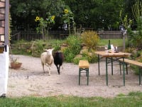 Heurigengarten mit Schafe