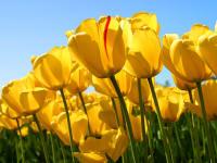 die ersten Tulpen