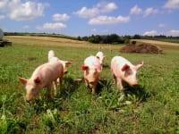 Unsere Freilandschweine