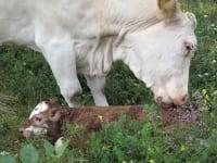 Eine Kuh bekommt ein Kalb