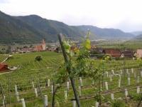 Weinberg bei Weissenkirchen