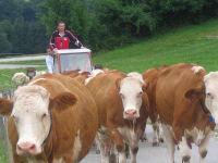 Forellenhof  Kühe von der Weide holen