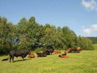 Prannleithen - Vierbeiner auf der Weide