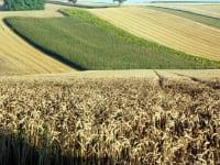 Privatzimmer Schulz - Weizen-Mais-Landschaft