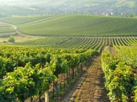 Vineyards and vineyards as far as the eye can see
