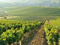 Weingärten so weit das Auge reicht
