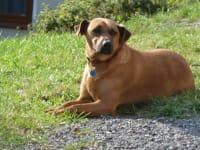 Treuer Hofhund (Donna)