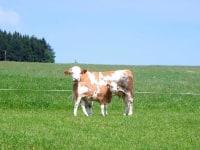 Kuh und Kalb auf der Weide