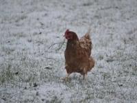 Freilaufende Hühner