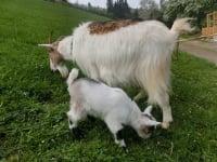 Zwergerlhof - Das ist Ziege Schnucki; Das Junge ist jetzt zwar auf einem anderen Bauernhof, aber es kommt vielleicht bald ein neues Baby