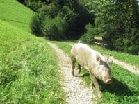 Zwergerlhof - Das gefällt dem Schweinderl
