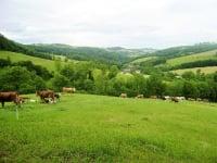 Vorderbichl - unsere Herde auf Weidegang