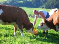 Karhof - Bauer Willi beim Füttern unserer Kalbinnen auf der Weide