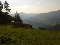 Ferienhaus Zwickelreith - Rinder auf der Weide