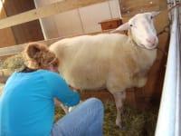 Schafe melken