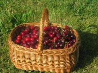 Kirschenernte