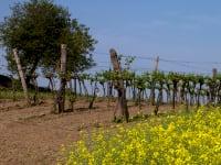 Weingarten im Frühling mit Rapsfeld