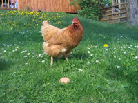 Huhn mit Ei