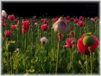 Mohnblüte