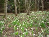 Fruehlingsknotenblumen sind die ersten Fruehlinsboten im nahen Wald