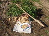 Frische Kartoffel können unsere Gäste ab August aus dem Hausgarten ernten.